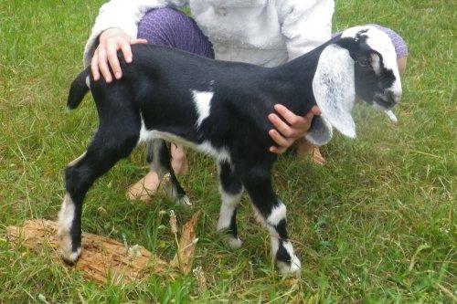 _Daisy_Doe_Sugar_Baby goats for sale 2016 025edit.jpg